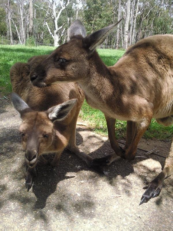 Kangaroos in Bonorong Wildlife Park, Brighton Australia