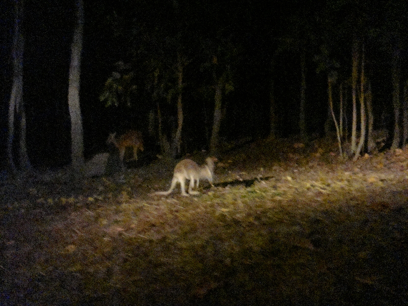Spotting the kangaroos at night, Thailand
