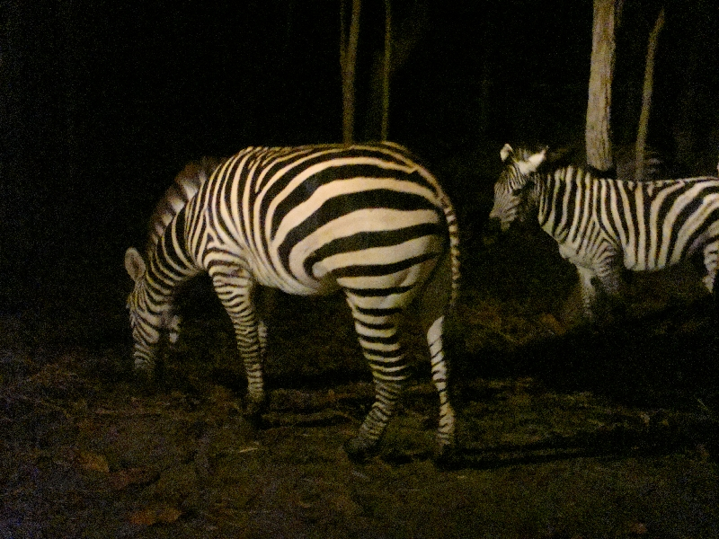 Zebra's at the Night Safari in Chiang Mai, Thailand
