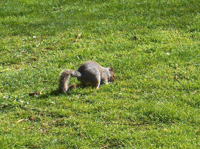 Curious squirrel in St James Park, London United Kingdom
