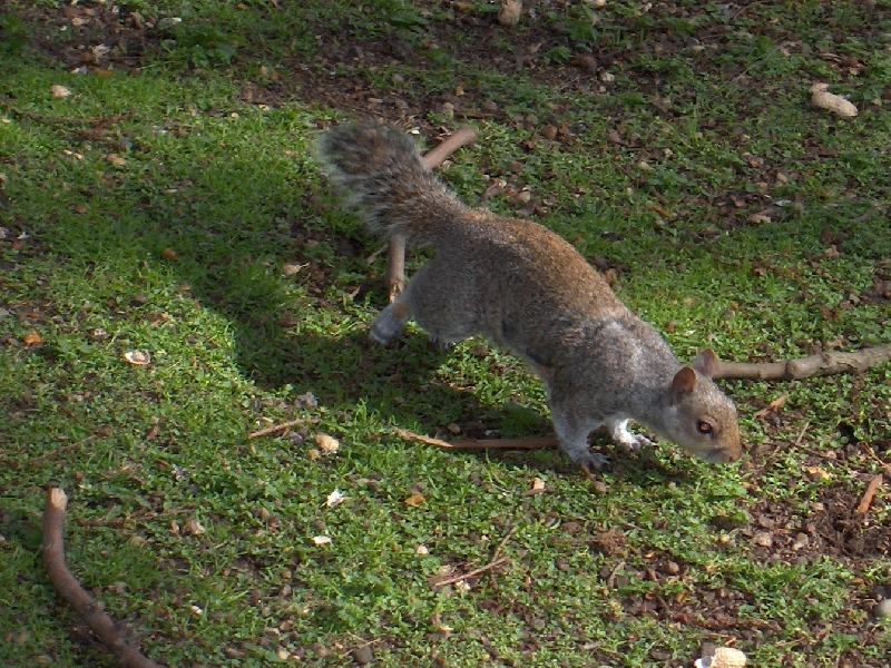 Squirrels in St. James Park, London, United Kingdom