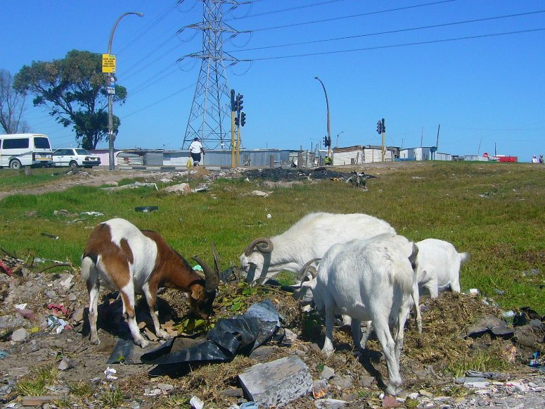 Goats in Nyanga looking for food, South Africa