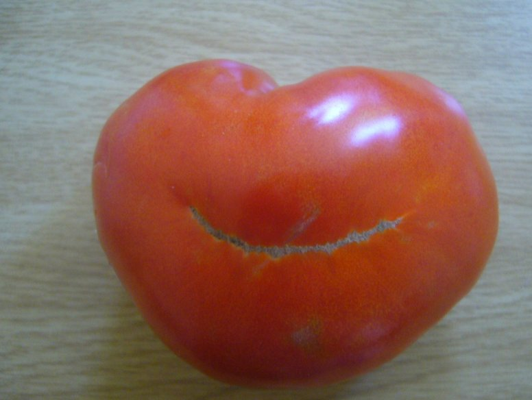 A real South African tomato, Cape Town South Africa