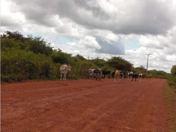 Cows on the road near Ubajara, Brazil