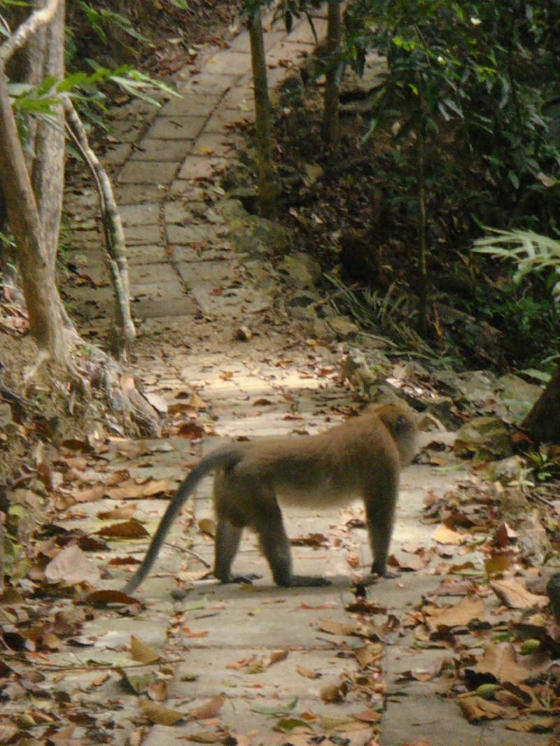 Hey, there's a monkey on the trail, Ko Lanta Thailand