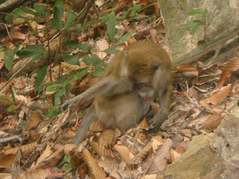 Wild monkey on Ko Lanta, Thailand