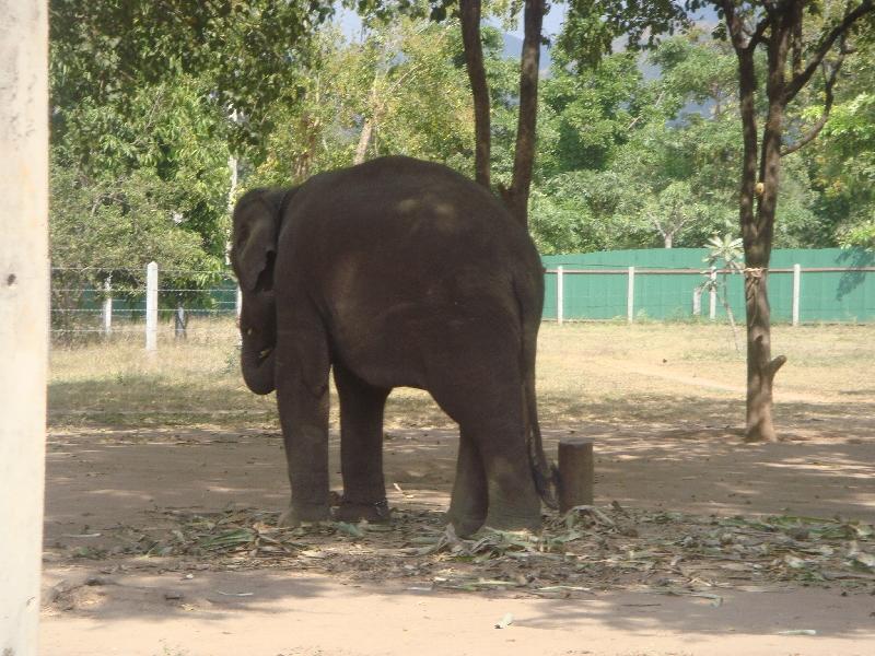 Baby elephant on a chain, Kanchanaburi Thailand