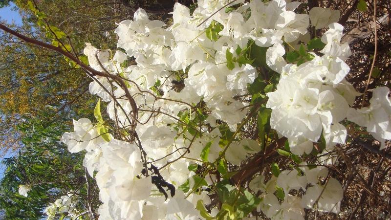 White wild flowers in Western Australia, Australia