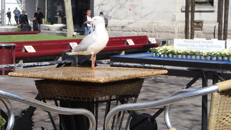 Hungry seagull looking for food, Australia