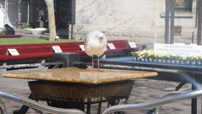 Seagull in the centre of Perth , Perth Australia