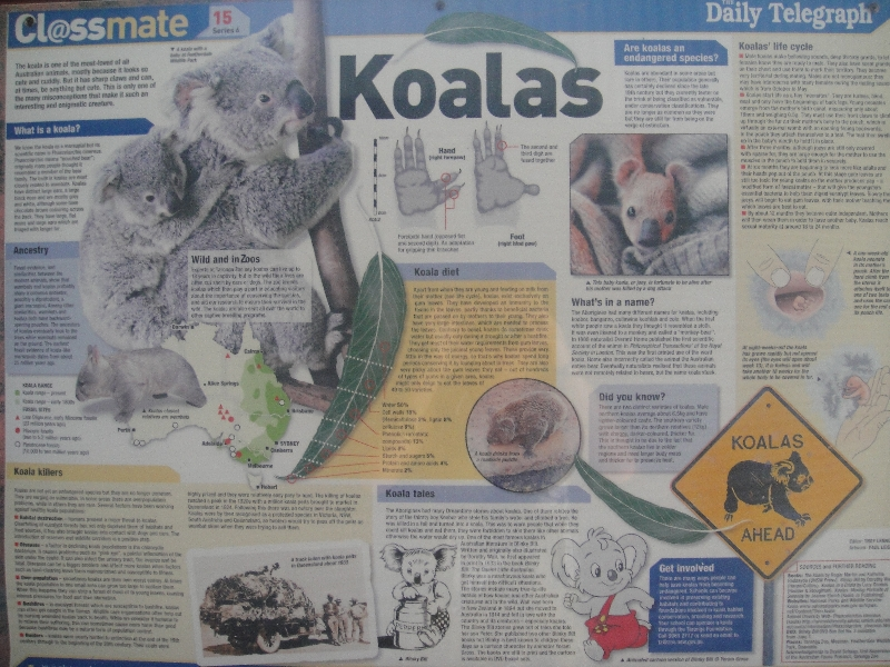Information about koalas in Australia, Port Macquarie Australia