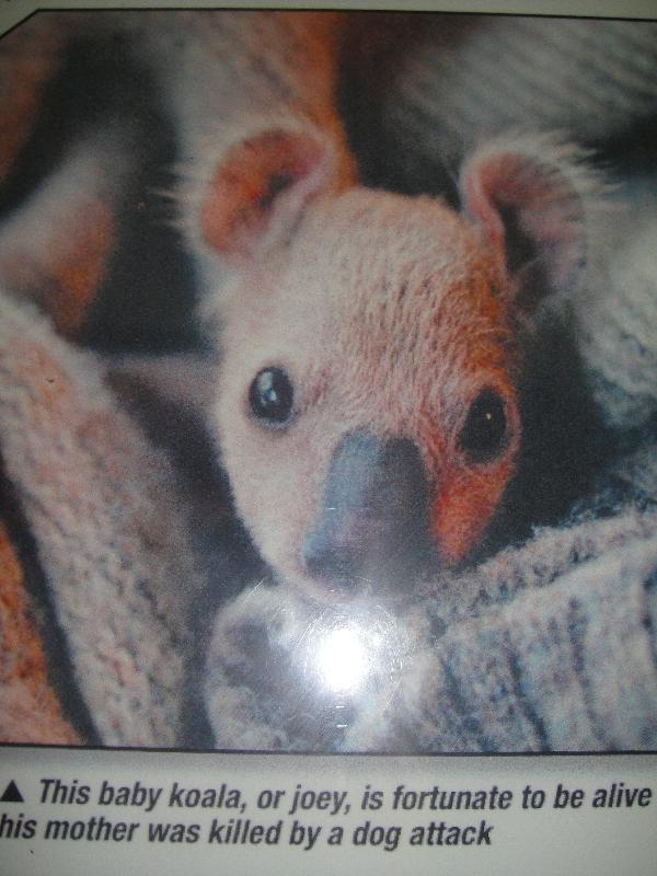 Baby Koala saved from bush fire, Australia