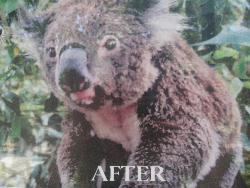 Koala after treatment in the hospital, Australia