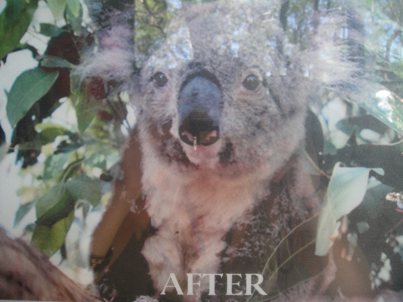 Koala recovered in the hospital, Port Macquarie Australia