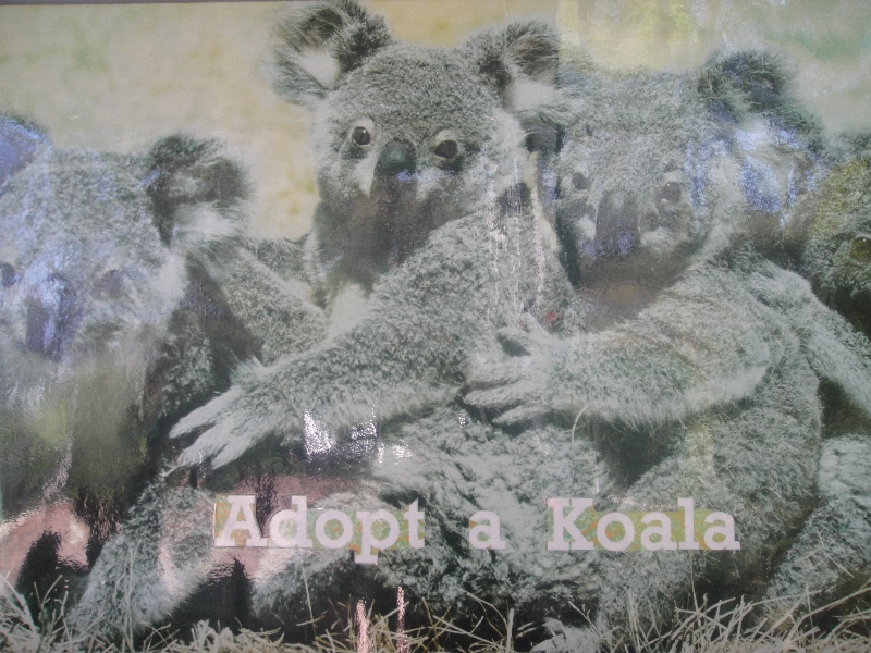 Adopt a Koala from the Koala Hospital, Port Macquarie Australia