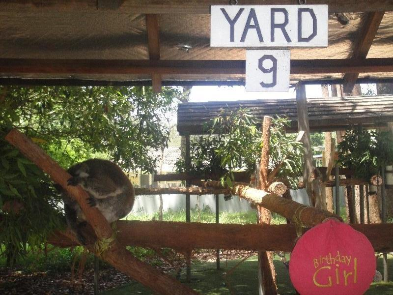 The Koalas of Yard 9, Port Macquarie Australia