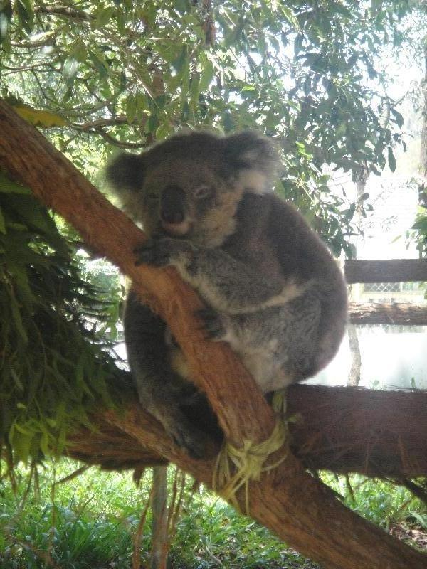 Photos of Koalas, Port Macquarie Australia