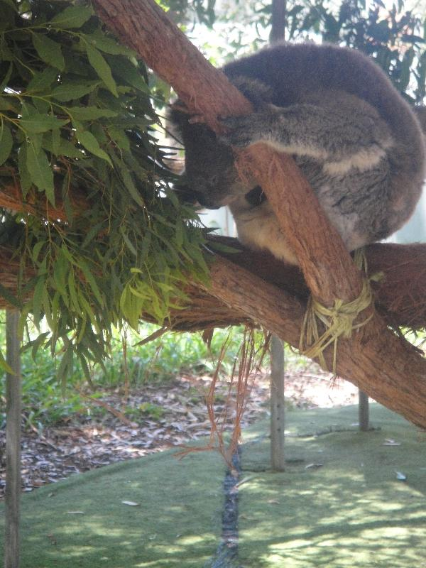 Pictures of Koalas , Port Macquarie Australia