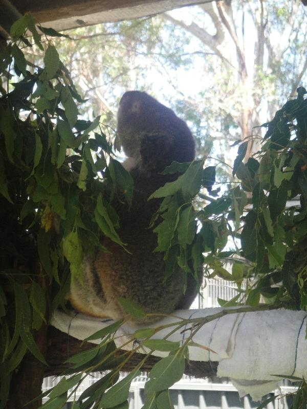 Sleepy koala at the hospital, Port Macquarie Australia