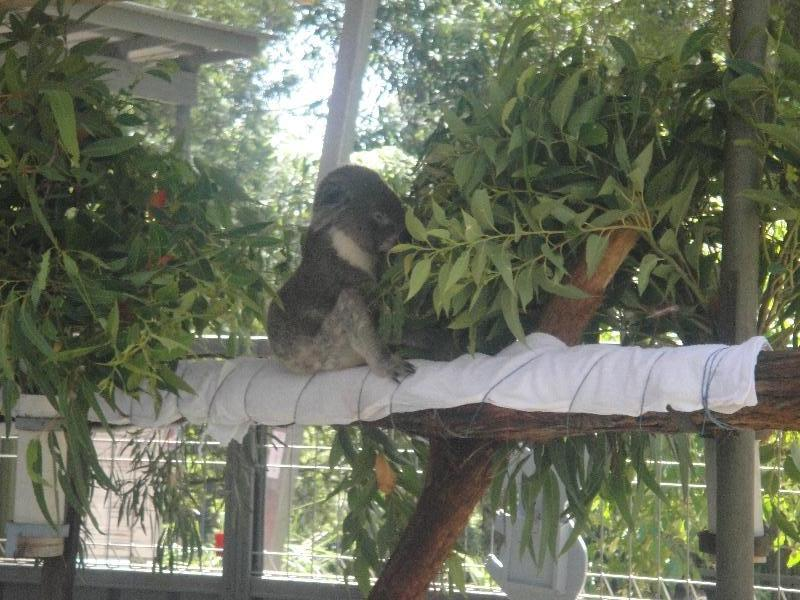 Koala in for treatment, Australia