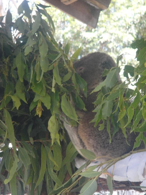 Port Macquarie Australia Koala eating his eucalyptus