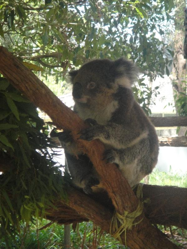 Guest koala at the hospital yard, Australia