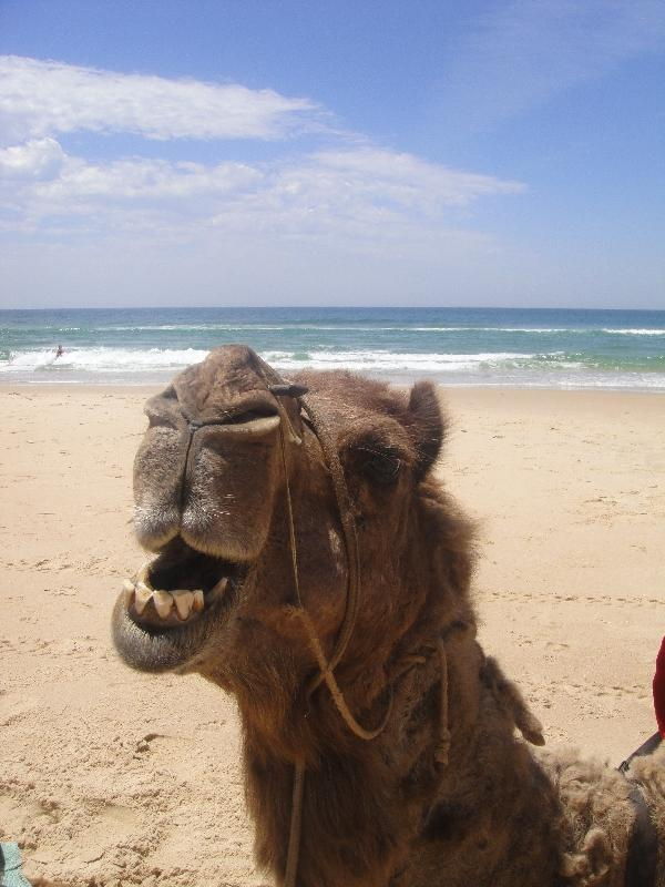 The camel just kept on talking, Port Macquarie Australia