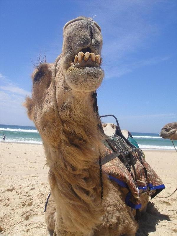Funny Camel on the beach, Australia