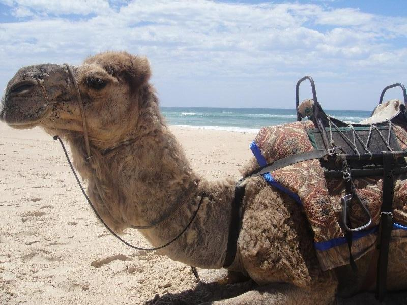 Seated camel taking a break, Australia