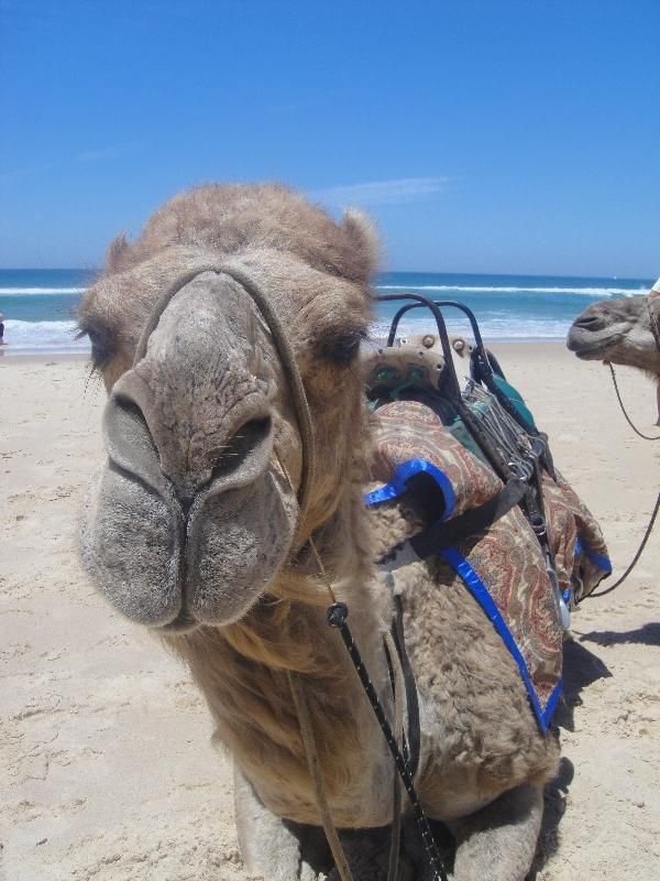 Camels on the beach in Port Macquarie, Australia