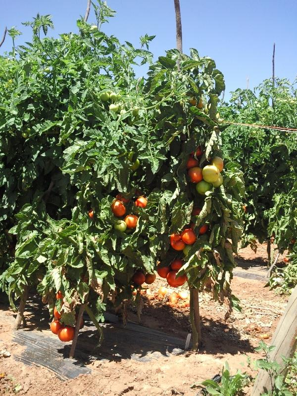 Waiting for the tomatoes to turn red.., Carnarvon Australia
