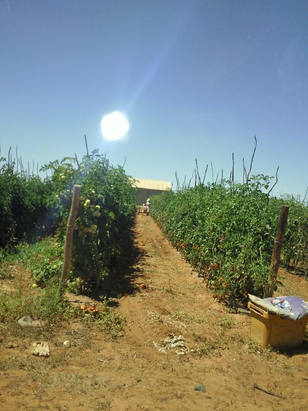 Fruit Picking under the Ozzie sun, Carnarvon Australia