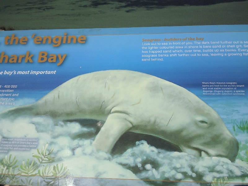 Carnarvon Australia Looking for Dugongs in Shark Bay