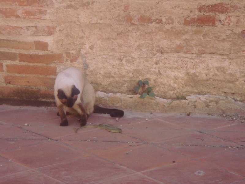 Siamese Cat playing with a snake, Ayutthaya Thailand