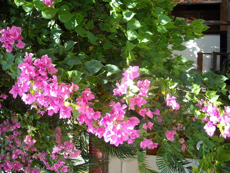 Flowers in Vientiane, Laos, Laos