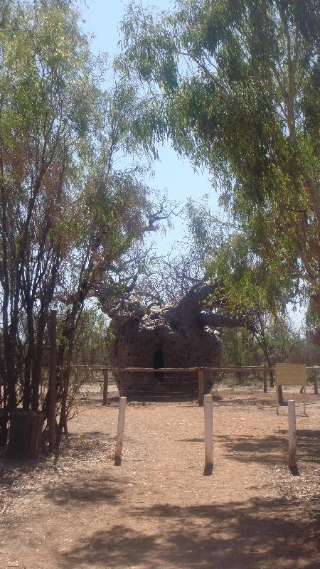 The Boab Prison Tree south of Derby Australia Pictures