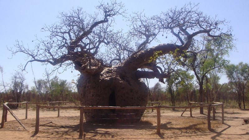 Photo The Boab Prison Tree south of Derby another
