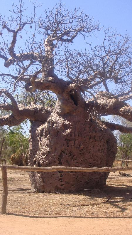 The Boab Prison Tree south of Derby Australia Holiday Tips