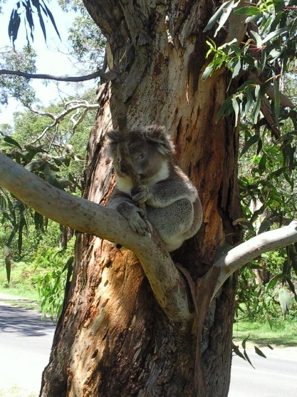Koala sitting in the tree, Cape Otway Australia