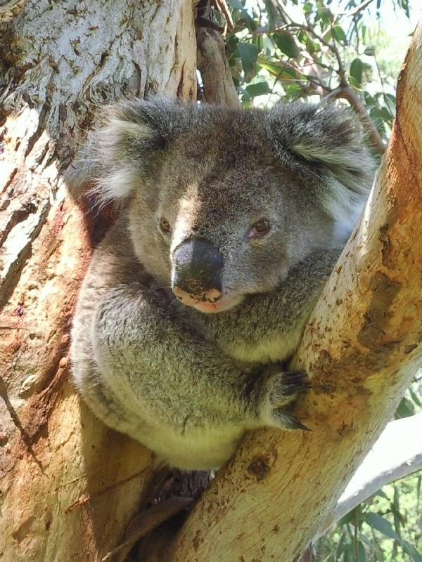 Koala in the tree around Cape Otwat, Cape Otway Australia