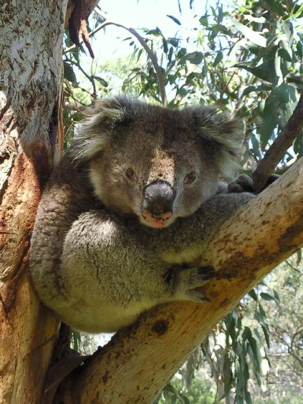 Koala pictures in Victoria, Australia