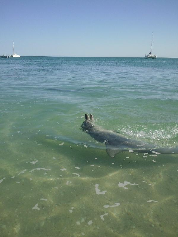 Playful dolphin in Monkey Mia, Australia