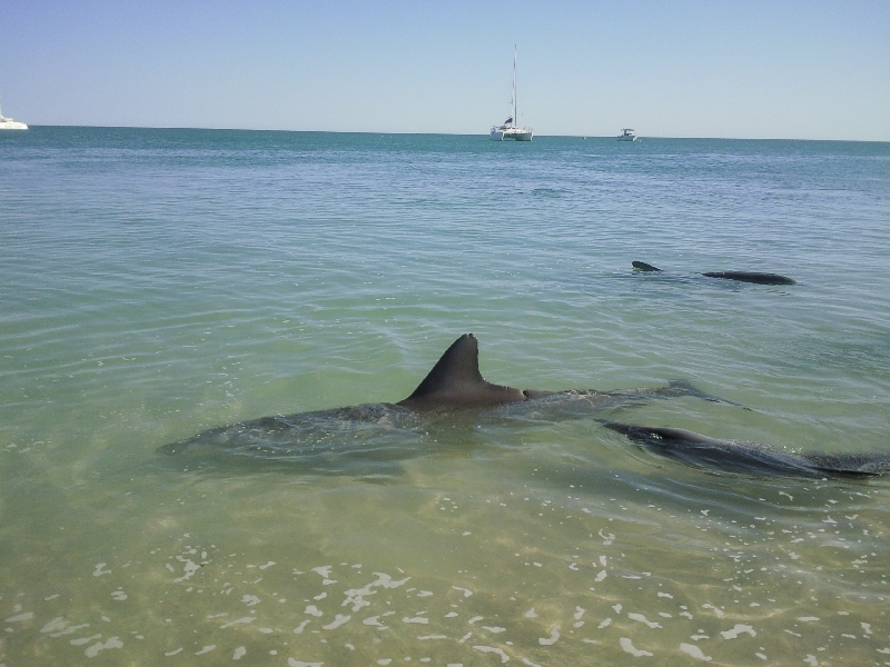 Pictures of the dolphins in Monkey Mia, Denham Australia