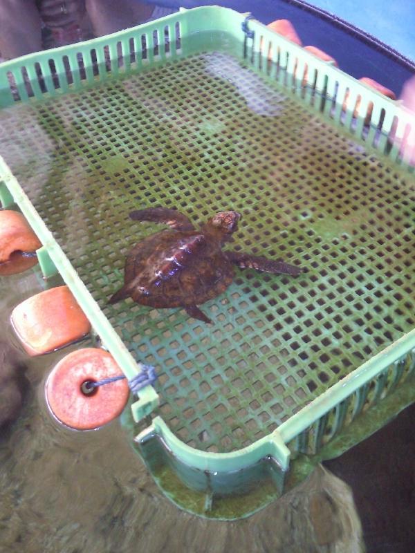 Baby turtle at Ocean Park, Australia