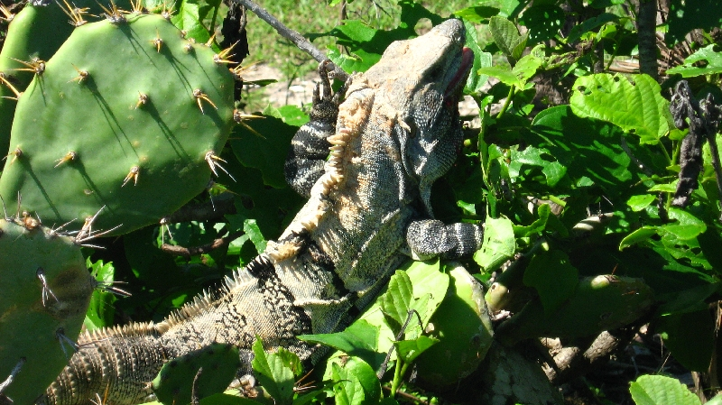 A huge lizard between the cactus plants, Tulum Mexico