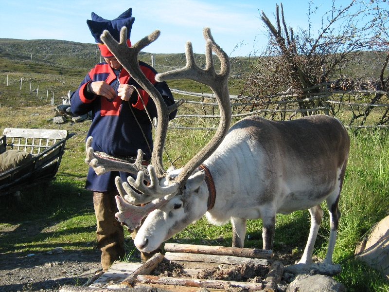 Beautiful reindeer on North Cape, Norway