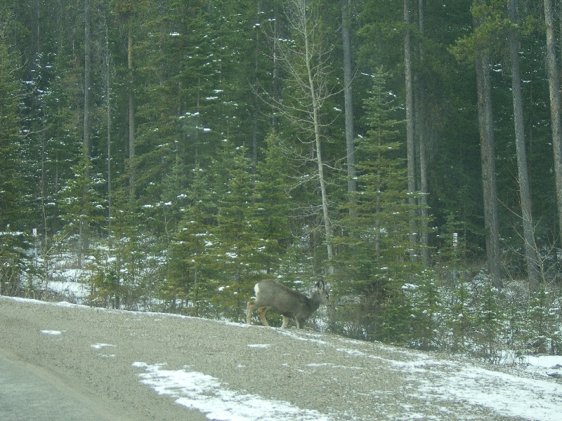 Deer on the side of the road, Canada