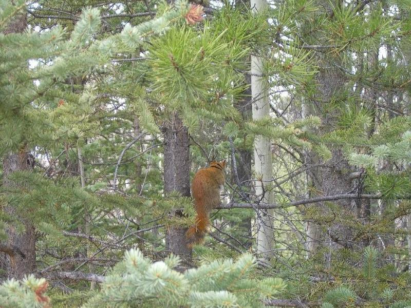 Beautiful squirrel in the trees, Canada