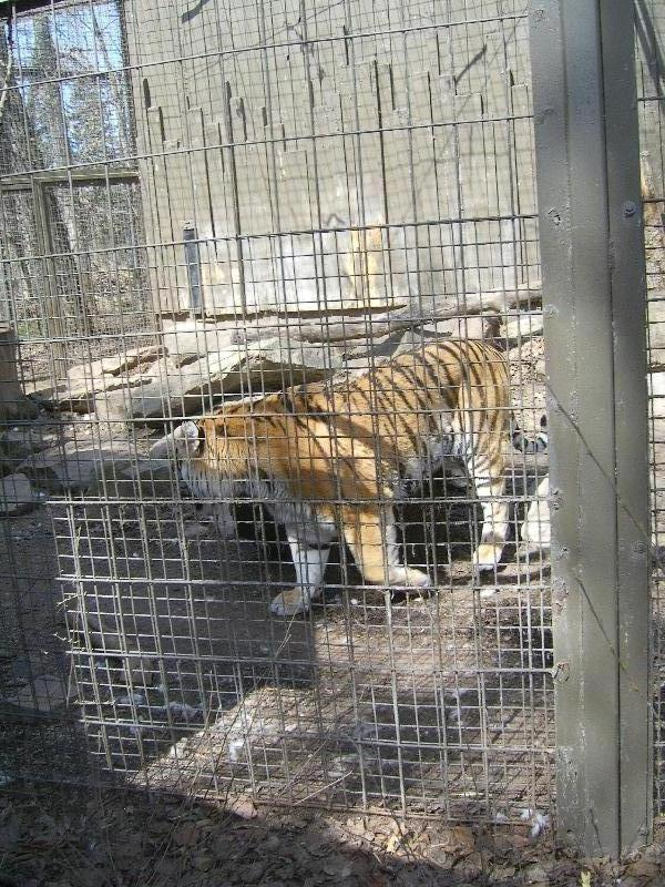 At the tiger cage, Canada