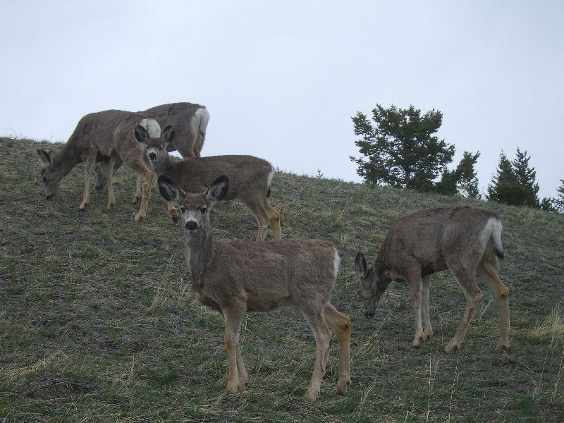 Group of deer on the hills, Calgary Canada